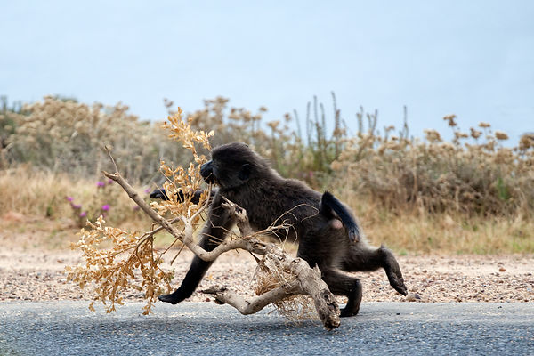 Chacma baboons from the Smitswinkel troop plays with a branch on the M4 near Simon's Town, Cape Peninsula, South Africa