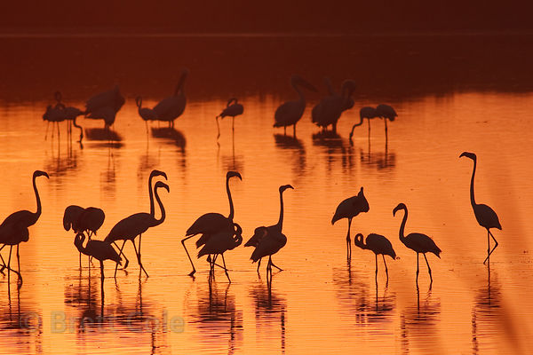 Greater flamingos (Phoenicopterus roseus) at sunrise, Strandfontein, South Africa