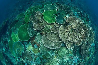 Looking down on healthy coral reef with tiers of plate corals and full of Damselfish and Fairy basslets, Komodo NP, Indonesia