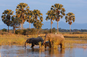 African elephants ( Loxodonta africana africana) in the Shire river, Liwonde National Park, Malawi