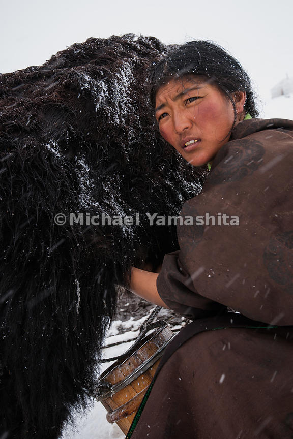 The dri (female yaks) still need milking, despite an early snow, and the job falls to the woman of the tent.