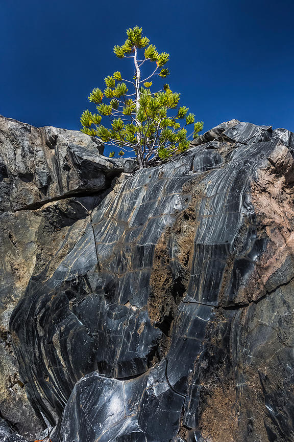 Whitebark Pine and Lava in Newberry National Volcanic Monument