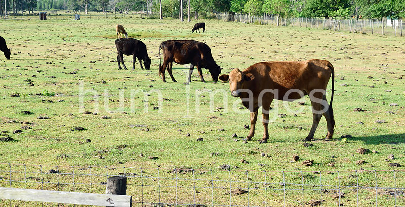 Animal Stock Photos: Cows Grazing in a Pasture