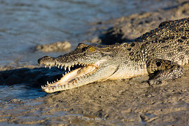 A crocodylus porosus, a saltwater crocodile swiming in Porosus Creek of the Hunter River in the Kimberley region of Western A...