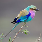 Lilac-breasted Roller close-up side view