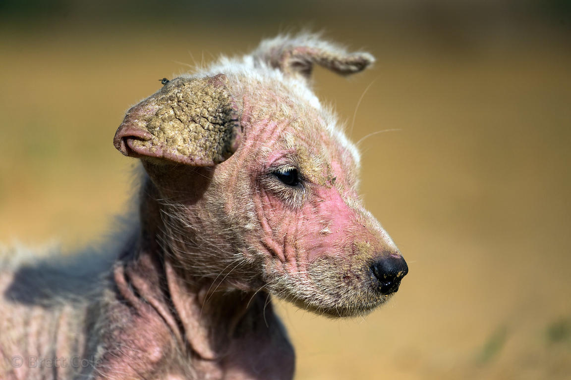 Puppy with mange at the Tree of Life for Animals rescue center (tolfa.org.uk) near Pushkar, Rajasthan, India