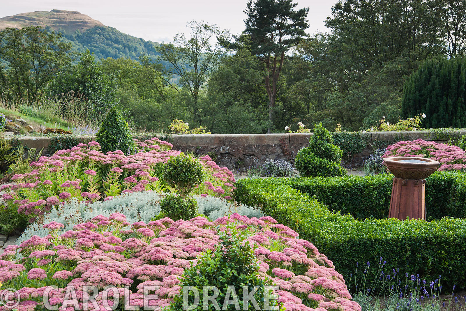 Terrace planted with box, Sedum 'Herbstfreude', santolina and Lavandula angustifolia 'Hidcote', with the British Camp or Herefordshire Beacon seen beyond. Perrycroft, Upper Colwall, Herefordshire, UK