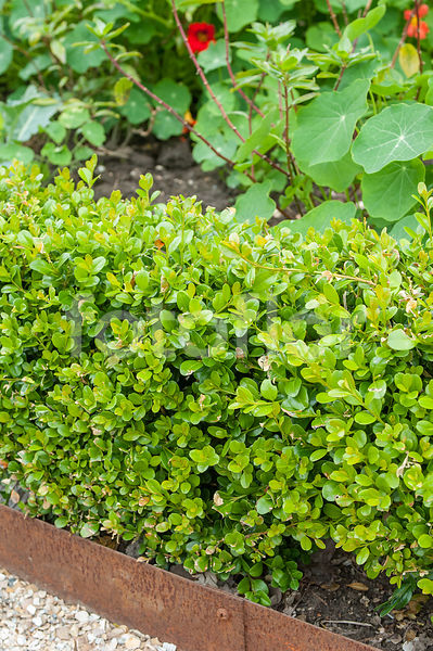 Buxus microphylla 'Winter Gem'
