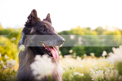 portrait of panting shepherd dog in summer flowers