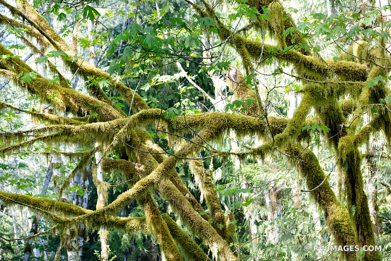HOH RAINFOREST OLYMPIC NATIONAL PARK PACIFIC NORTHWEST FOREST