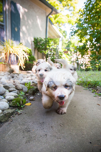 litter of white dirty puppy dogs coming to camera on sidewalk in yard