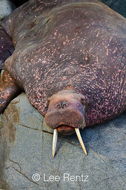 Pacific Walrus male resting on Round Island rocks