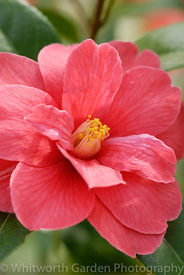 Camellia 'Freedom Bell'. © Rob Whitworth