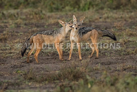 jackal_pair_ndutu_02192015-15-Edit