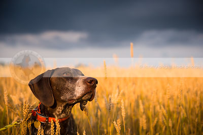 headshot of brown shorthaired pointer dog in wheat field