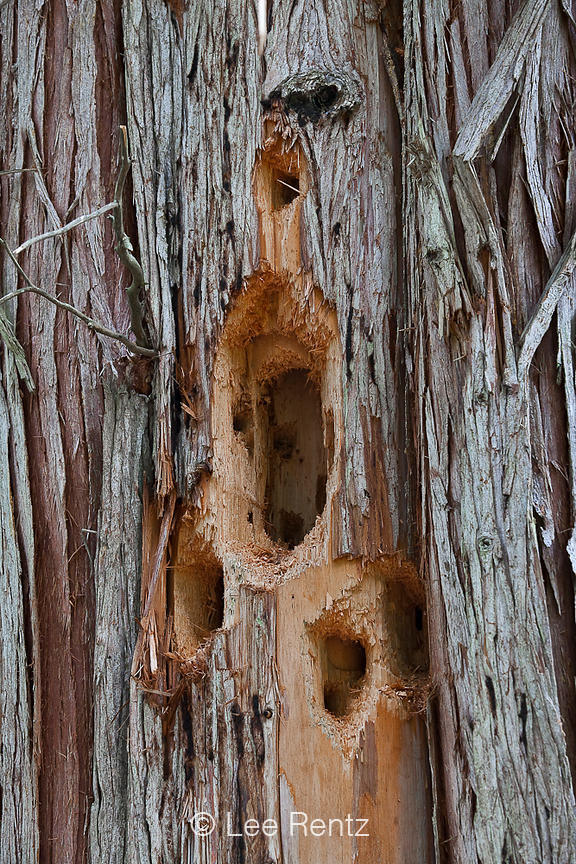Pileated Woodpecker Hole in Western Red Cedar