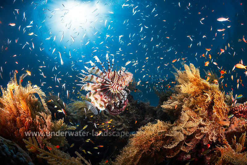 Poisson Lion - Photo sous marine Lagon de moheli
