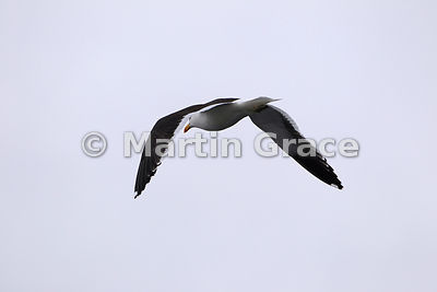 Kelp Gull (Larus dominicanus) in flight, Chiloe Island, Chile