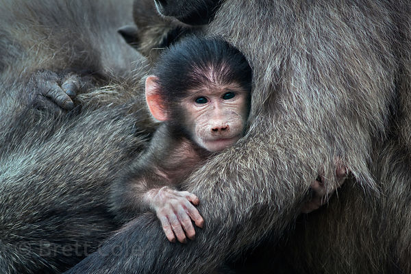 A baby chacma baboon from the Smitswinkel troop sits cradled in its mother's arms, near Gumshoes, Cape Peninsula, South Africa