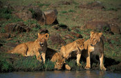 Lion cubs drinking, panthera leo, Maasai Mara National Reserve, Kenya