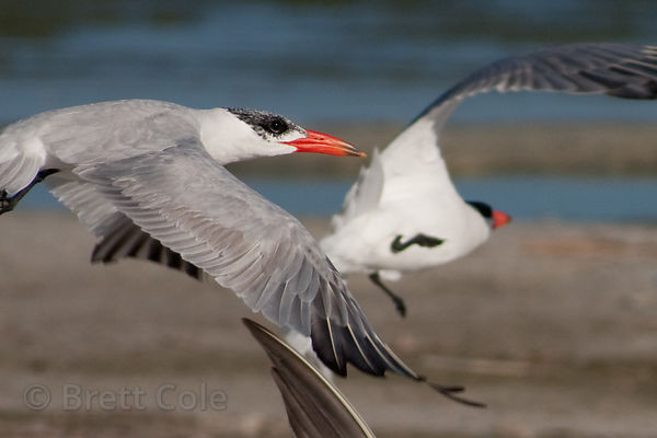 Terns (sp.), Strandfontein, South Africa