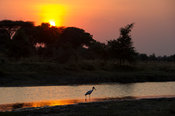 Yellow-billed Stork at sunset (Mycteria ibis), Katavi National Park, Tanzania