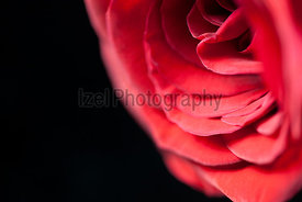 A close up of a single red rose on a black background.