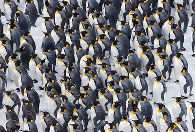 King Penguin {Aptenodytes patagonicus} colony huddled together, Right Whale Bay, South Georgia, November