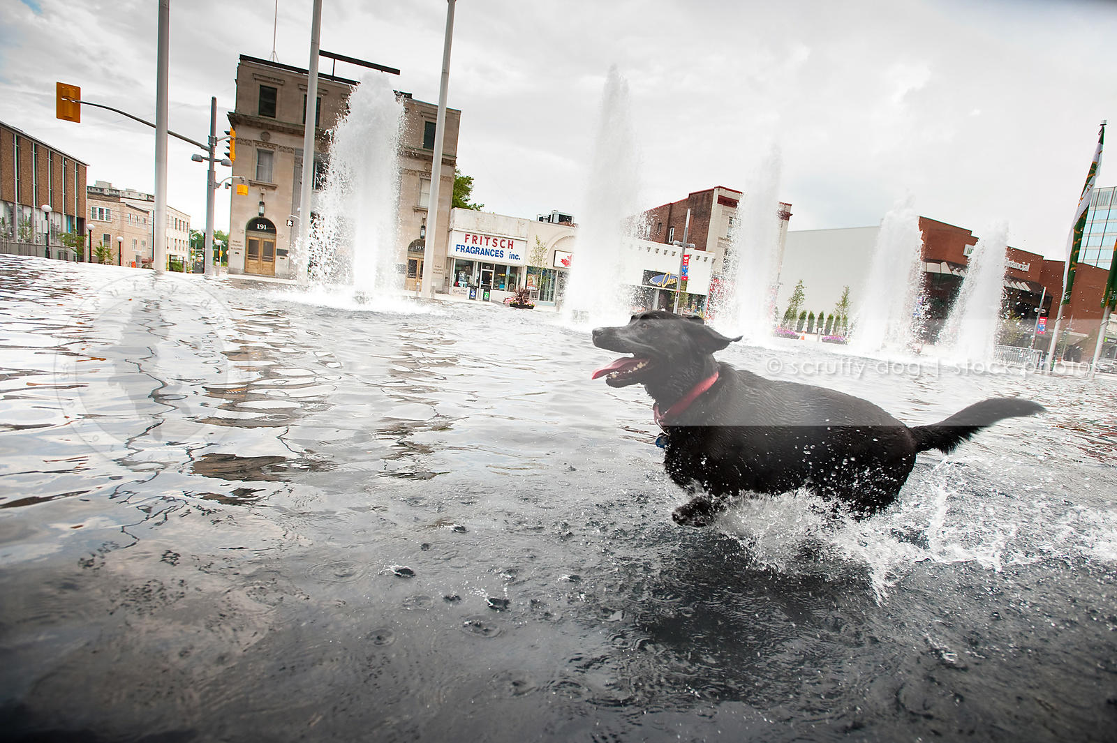 happy black lab dog running splashing in urban pool water down town