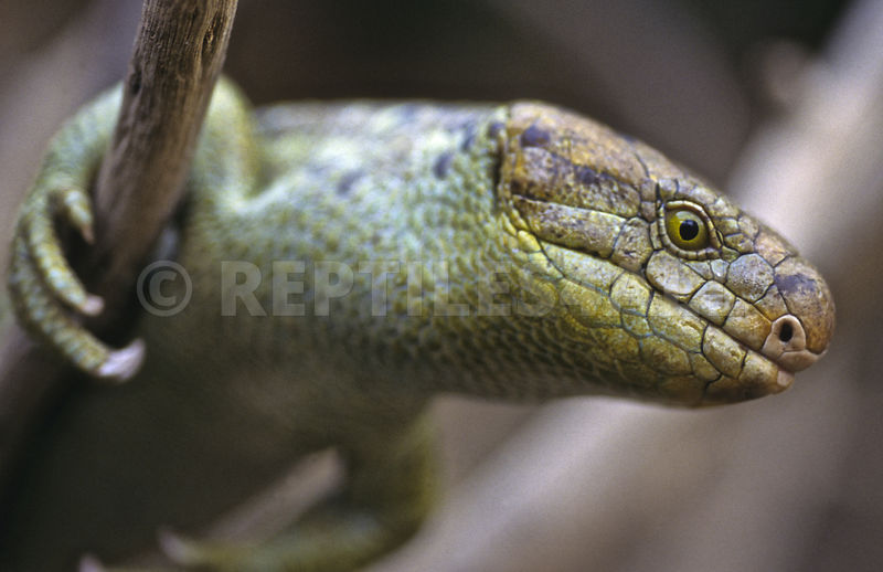 Corucia zebrata, Monkeytail skink, Solomon islands, Papua New Guinea