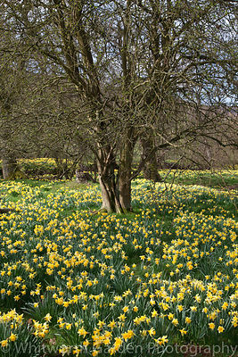 Narcissus pseudonarcissus naturalised and growing wild in the Farndale Valley, North Yorkshire. © Jo Whitworth