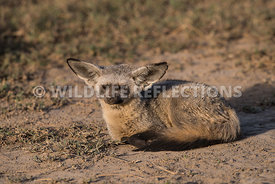 bat_eared_fox_ndutu_02202015-15
