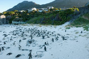 African penguin colony, Spheniscus demersus, Boulders Beach, Cape Peninsula, South Africa