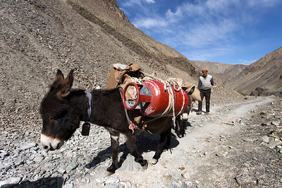 A donkey carries fuel canister on a road in the middle of nowhere in Hemis National Park near Rumbak, Ladakh, India