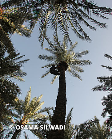 Palm Tree Harvest