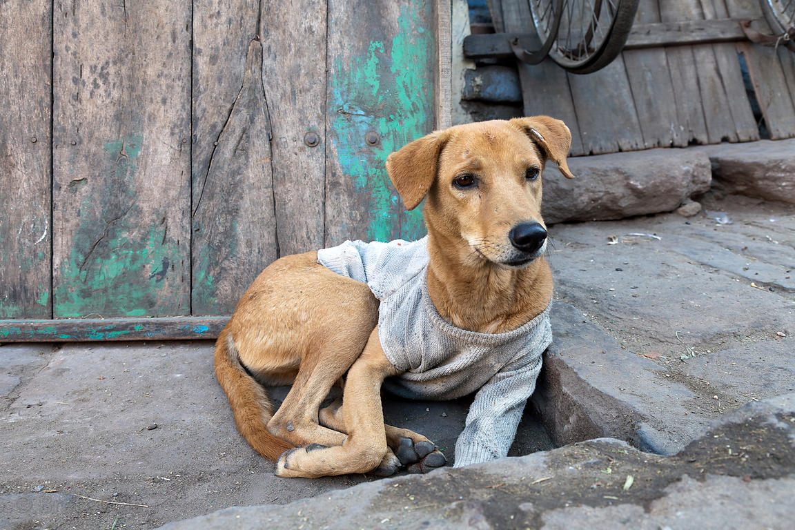 A dog wearing a sweater put on him by local residents to ward off the cold, Jodhpur, Rajasthan, India