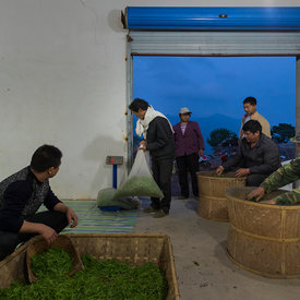 Feng's High Mountain Organic Tea cooperative