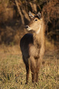 Common waterbuck (Kobus ellipsiprymnus ellipsiprymnus), Liwonde National Park, Malawi