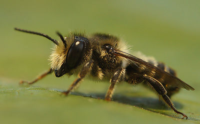 Megachile ericetorum, male