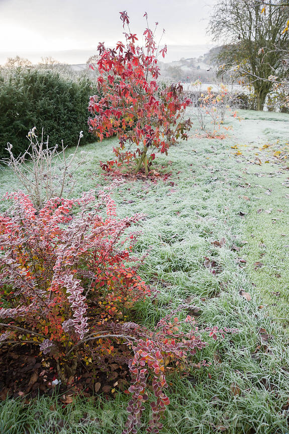 A group of deciduous shrubs planted for autumn colour including berberis, Liquidambar styraciflua 'Lane Roberts' and Cercis c...