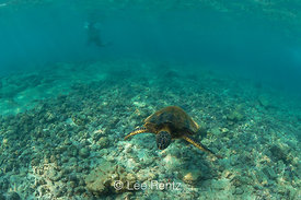 Pacific Green Sea Turtle and Snorkeler Swimming off the Big Island of Hawaii