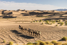 Caravan of Bactrian camels in the South Gobi Desert, Mongolia. In the Khongoryn Els sand dunes in Gobi Gurvansaikhan National...