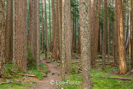 Western Hemlock Grove in Olympic National Forest