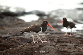Two American Oystercatchers found wandering the shoreline of Santiago Island.