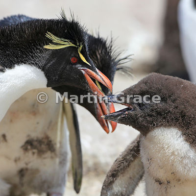 Adult Southern Rockhopper Penguin (Eudyptes chrysocome chrysocome) with chick, Cape Coventry, Pebble Island