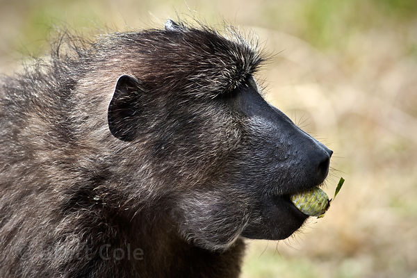 Female chacma baboon from the Buffels Bay troop showing the use of the baboons' cheek pouches as she gathers protea (sp.) con...