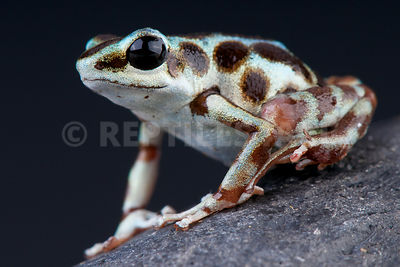 "Strawberry dart frog / Oophaga pumilio ""Robalo"""