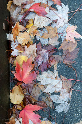 Fallen, wet, autumn leaves