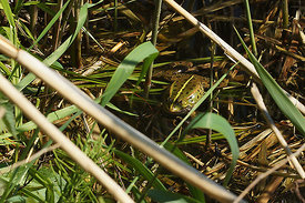 Pelophylax species, Durmplassen Merendree
