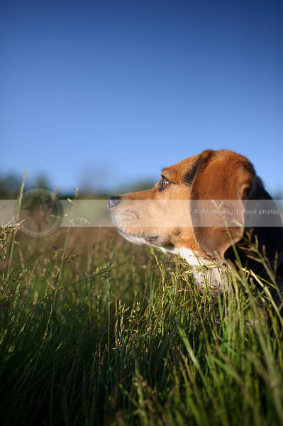 headshot of beagle dog looking away in deep grasses with sky